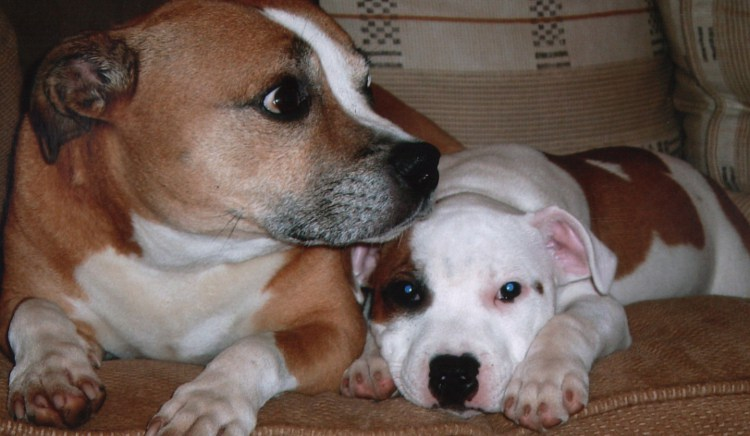 Save The Dattfy, Staffy and her pup.