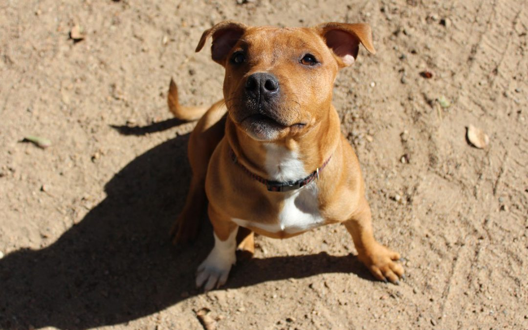 Second Chance For Staffy Puppy Evie